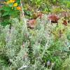 Lavender_in_garden