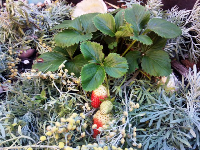 strawberries with Artemesia